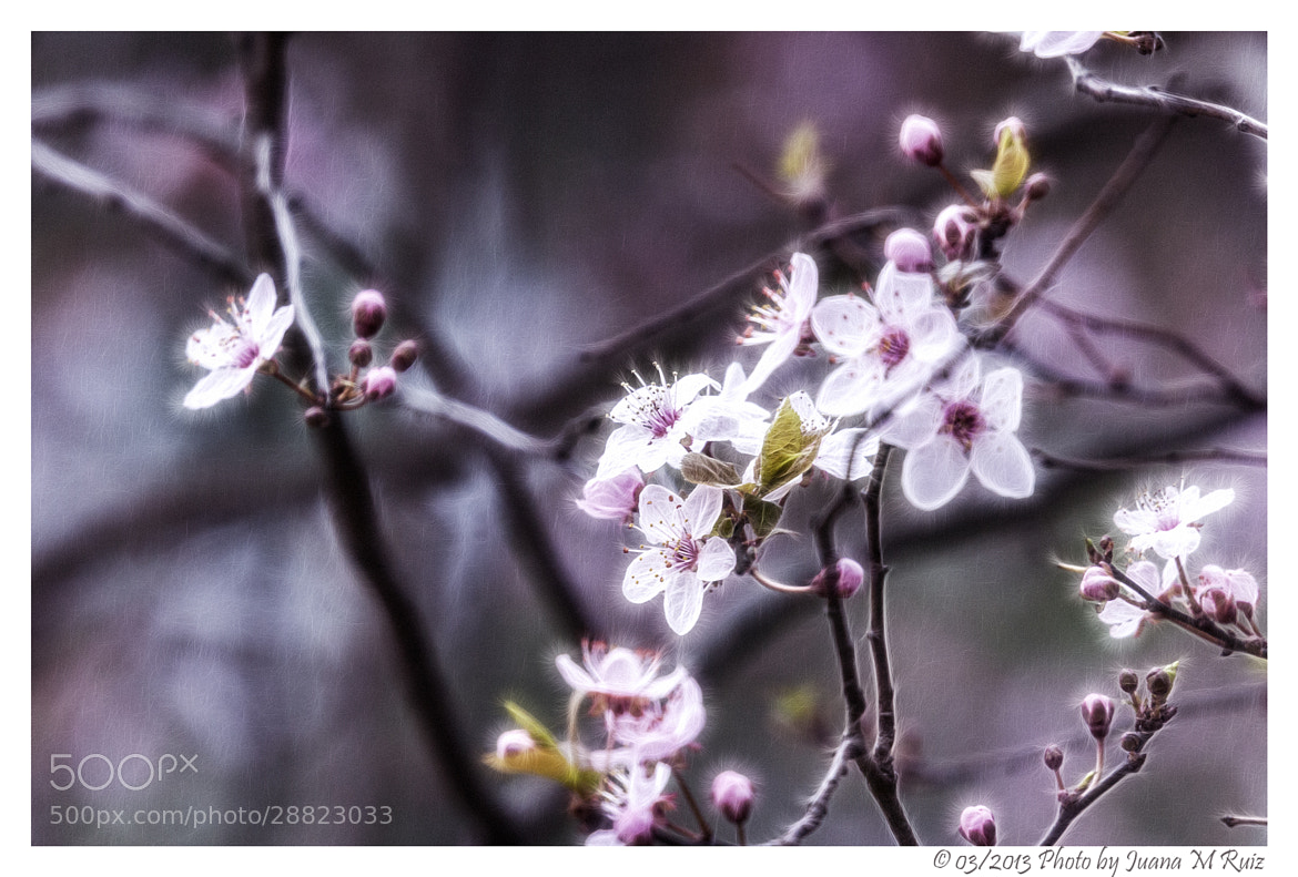 Photograph Red plum blossoms by Juana Maria Ruiz on 500px
