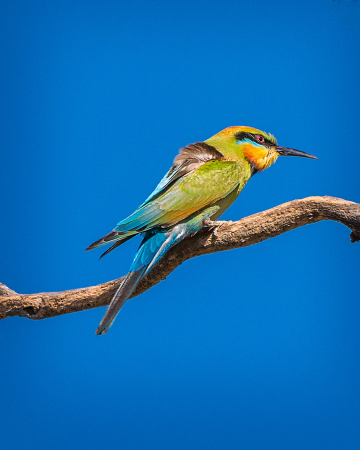 Rainbow Bee-eaters by Paul Amyes on 500px.com