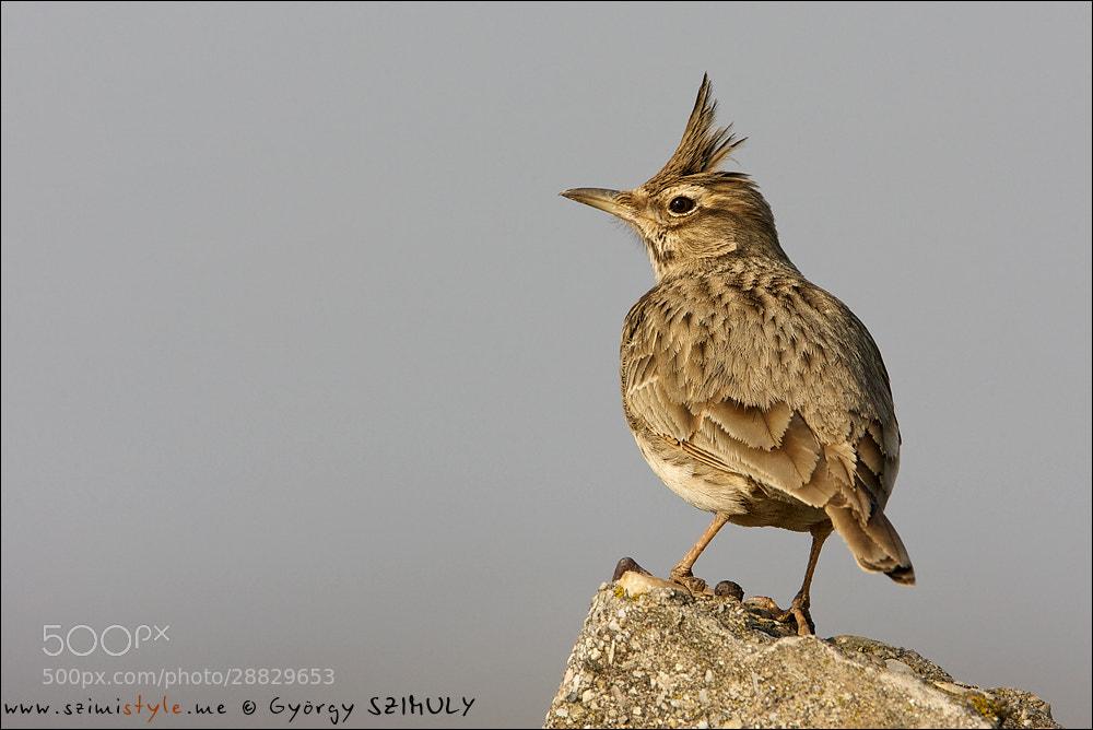 Photograph Crested Lark (Galerida cristata) by Gyorgy Szimuly on 500px