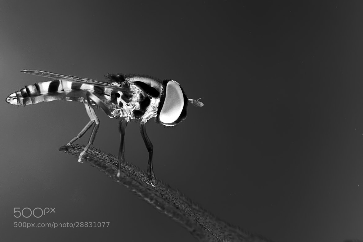 Photograph Hover Fly by ainx yodi on 500px