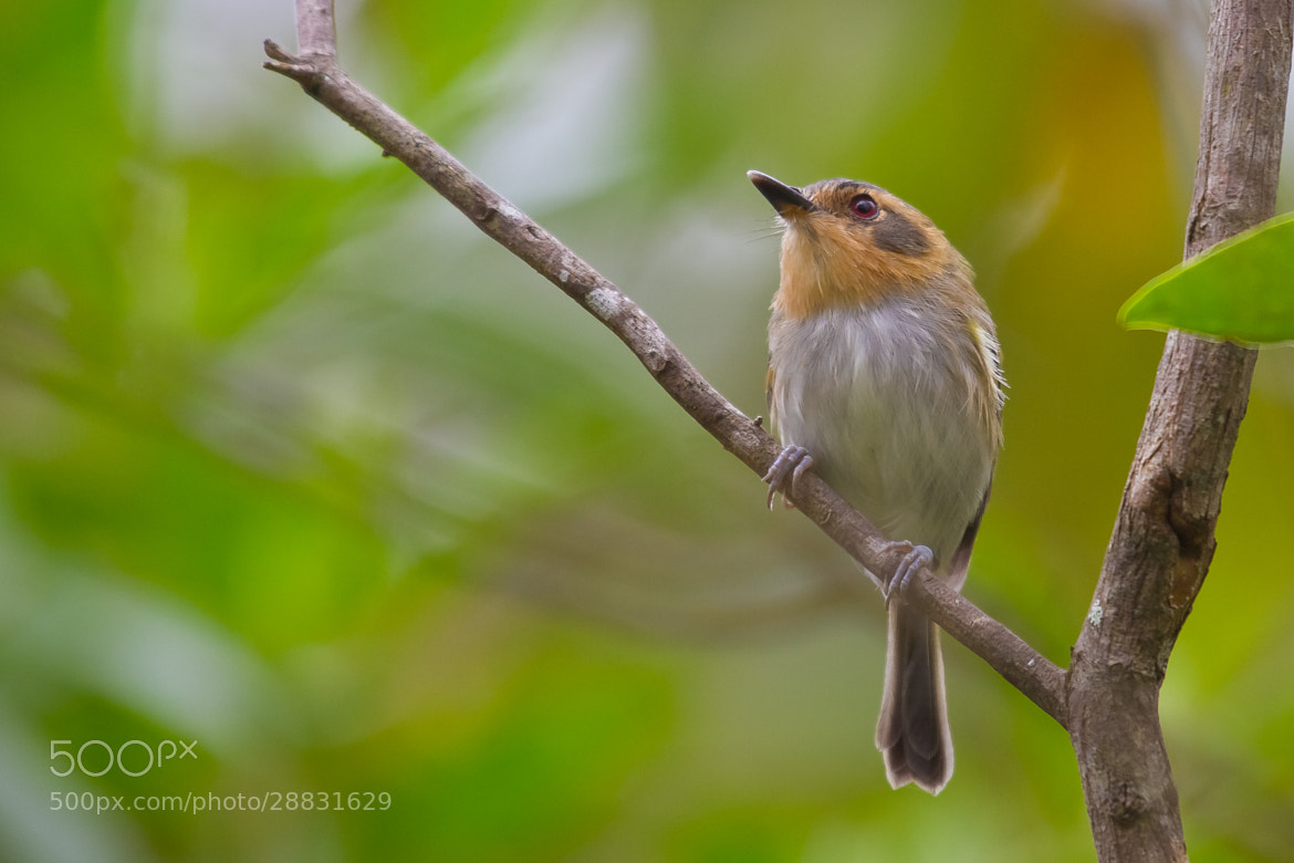 Photograph Ochre-faced Tody-Flycatcher (Poecilotriccus plumbeiceps) by Bertrando Campos on 500px