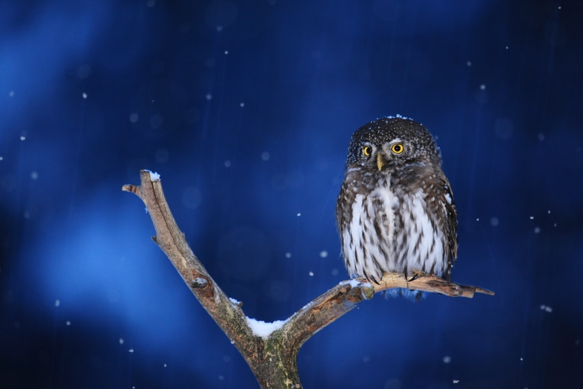 Photograph Eurasian Pygmy Owl by Mira Kuba on 500px