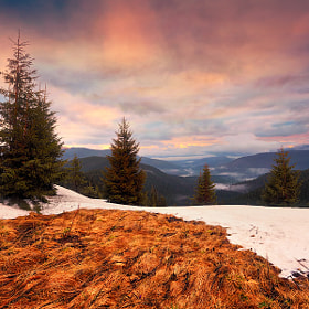 Mountain sunrise. Pine trees and melting snow