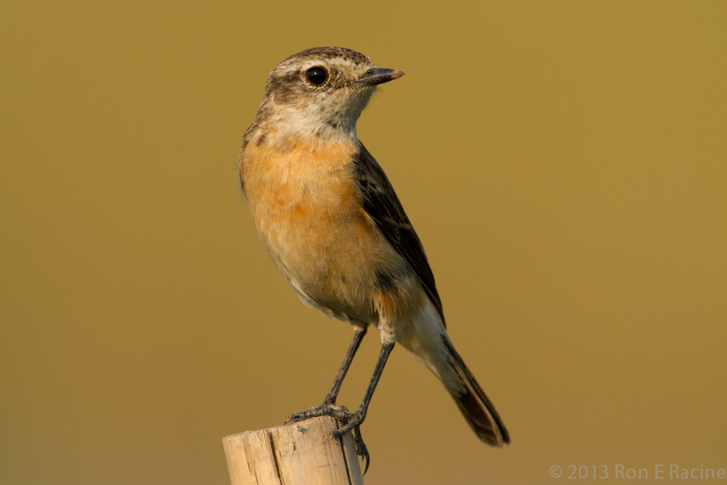 Photograph Female Siberian Stonechat III by Ron E Racine on 500px