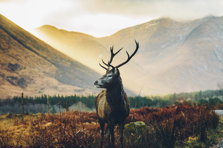 Golden Stag  by Daniel Casson on 500px.com
