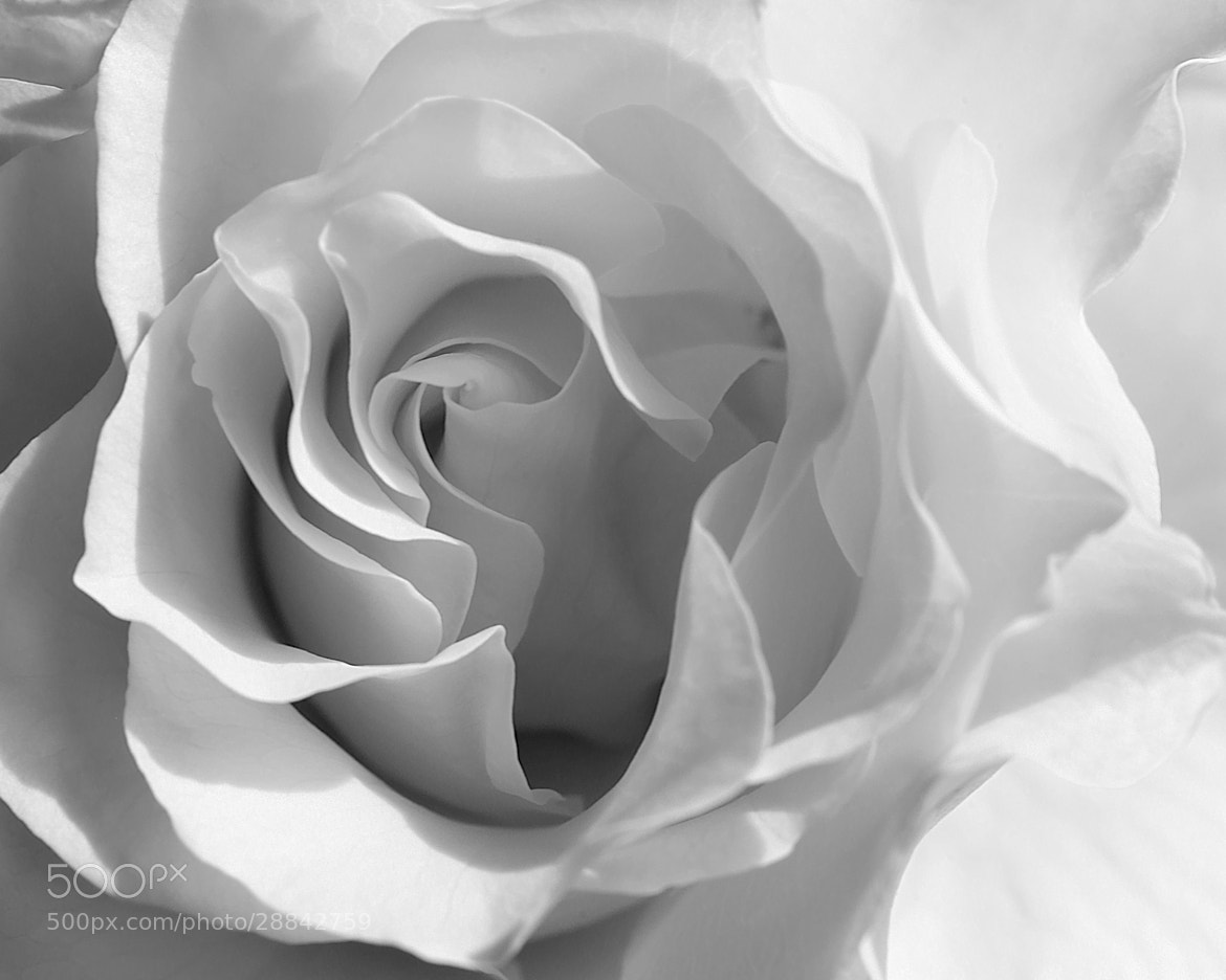 Photograph rose by Mark Wohlrab on 500px