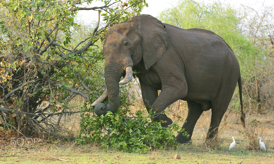 A Nice Bull Elephant decides this tree needs bringing down to the ground. Taken in Matusadona National Park, Zimbabwe, 24th September 2011