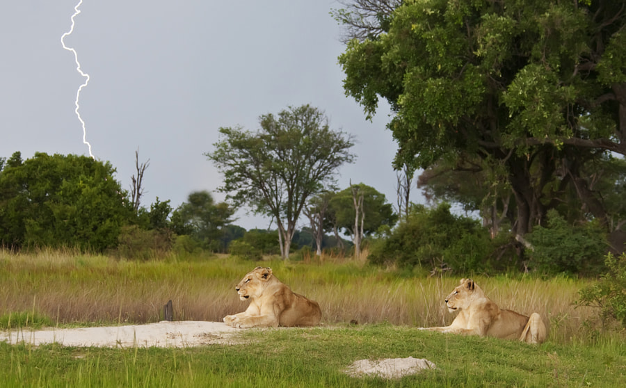 Two hungry lionesses await the rain, and were probably as cold as us, Taken in Kwara concession, Botswana, 28th December 2010.