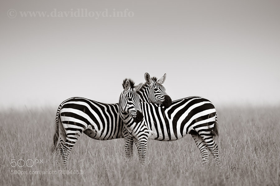 Photograph Zebra Pair by David Lloyd on 500px