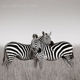 Zebra Pair by David Lloyd (davidlloyd)) on 500px.com