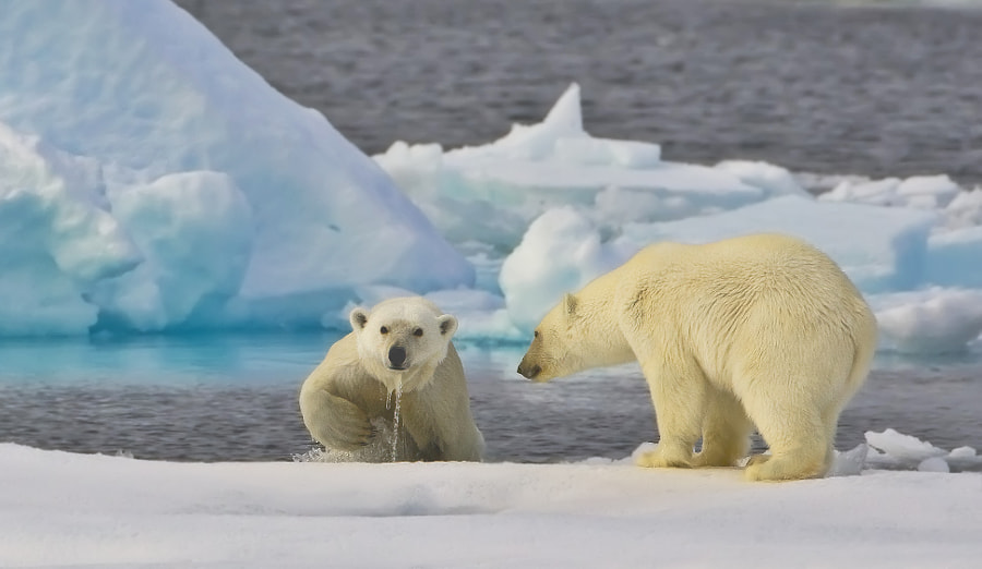 Mum and youngster testing the waters in Svalbard, Norway, 5th September 2009