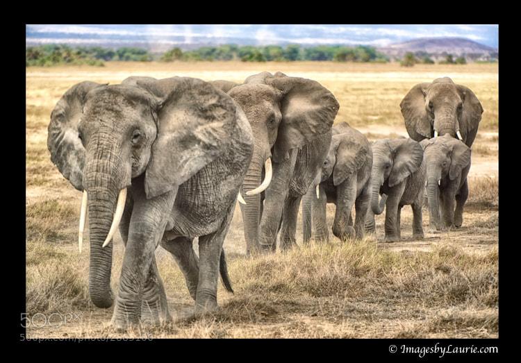 African Elephant Herd (Amboseli National Park, Kenya)