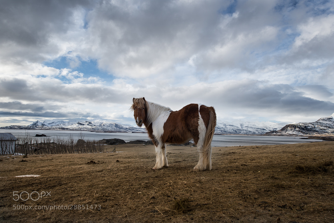Photograph Icelandic Horse by Trevin Chow on 500px