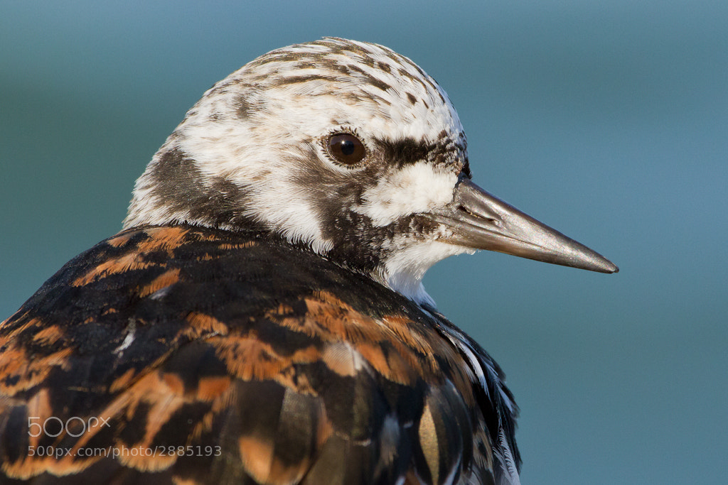 Photograph Turnstone, Arenaria interpres by Freek Wijffels on 500px