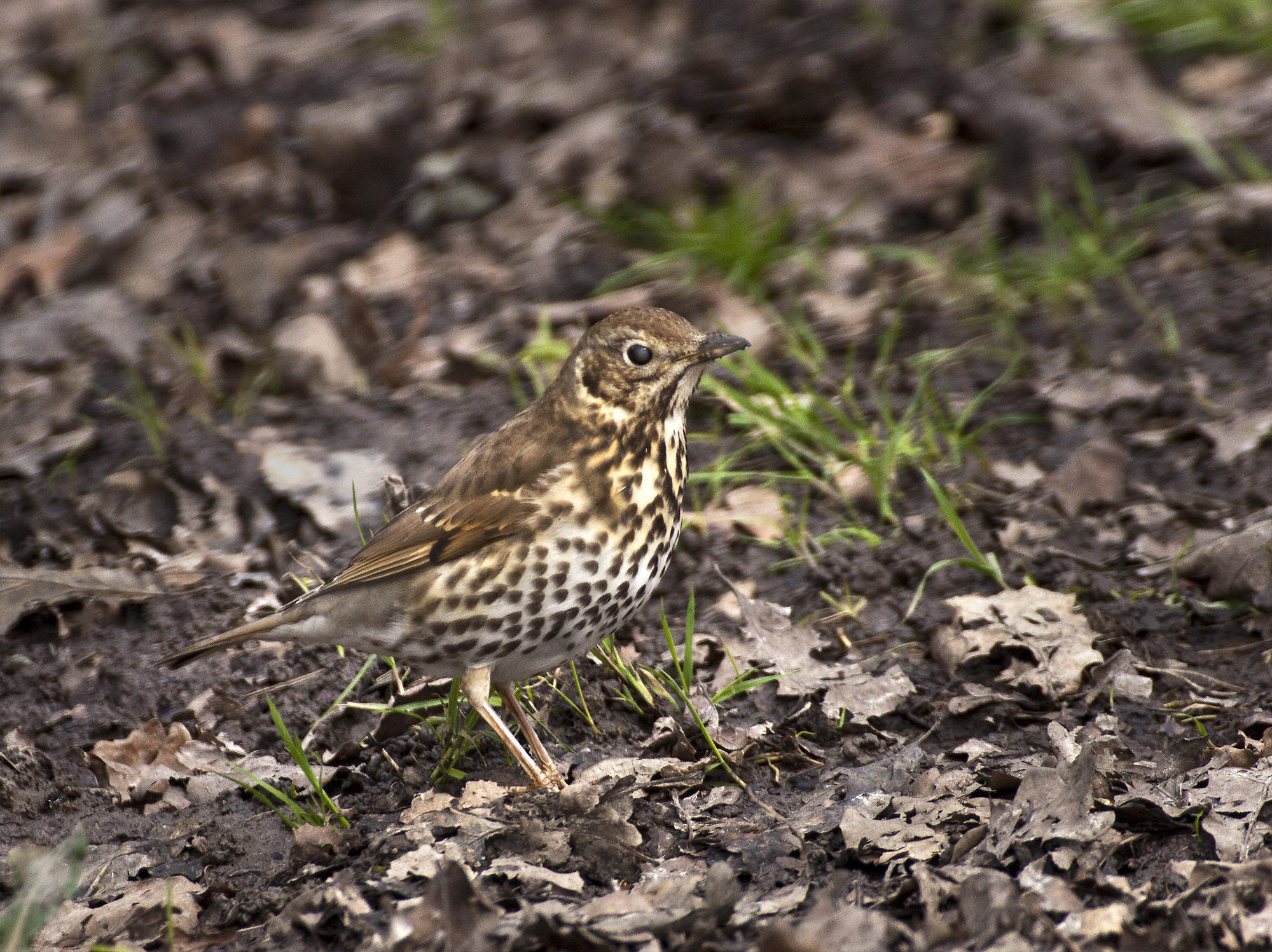Photograph  Song thrush (Turdus philomelos) by Ray Jones on 500px