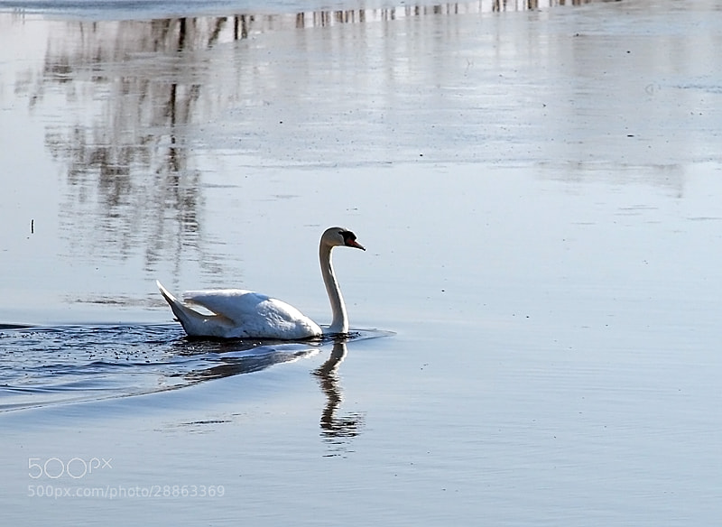Photograph Swan by Tsvetanka Kirilova Georgieva on 500px