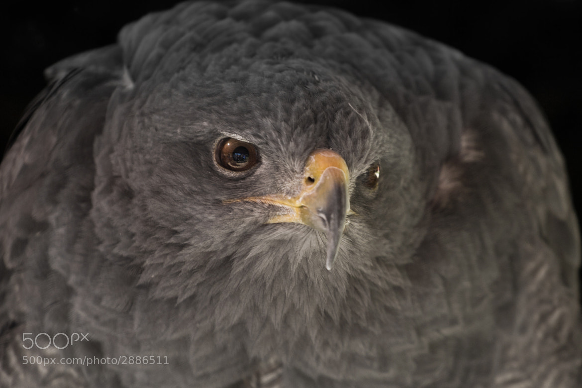 Photograph Aguila gris by Javi Roces on 500px