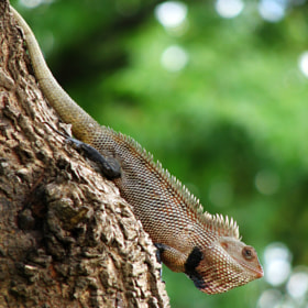 Oriental Garden Lizard by Sangeeth VS (sangeethvs)) on 500px.com