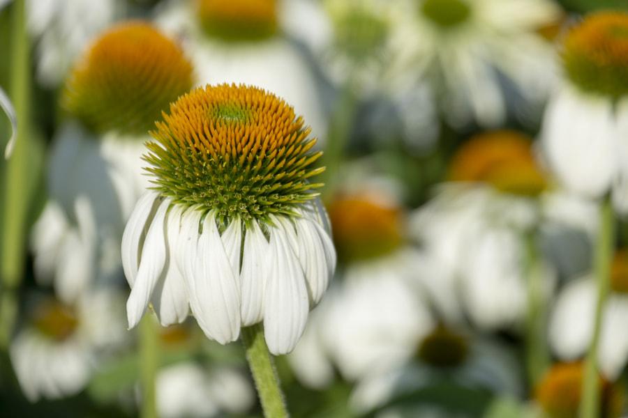 Coneflower Kew Gardens in July by Lisa Missenda on 500px.com