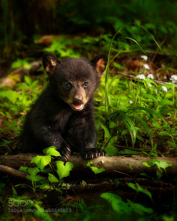 Photograph Bear Cub's First Spring by Steve Perry on 500px