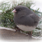 Dark Eyed Junco  ~  Love these guys, but hoping they leave soon so spring will come.