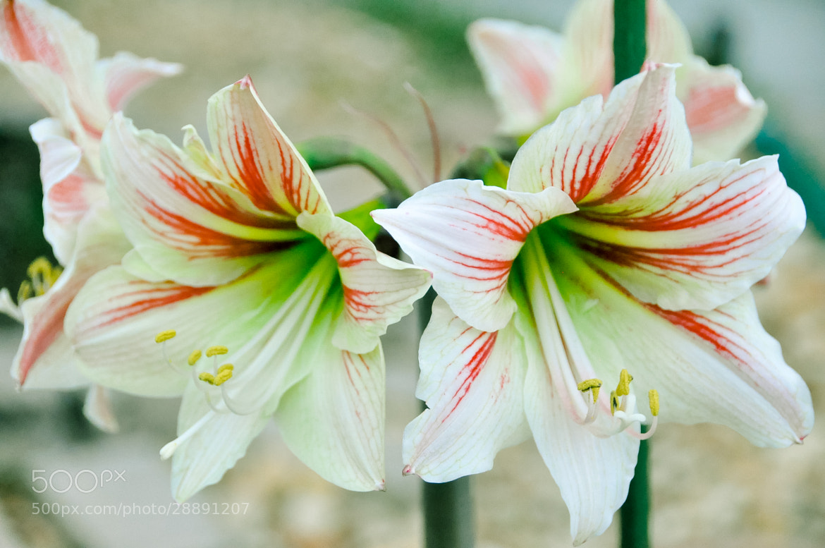 Photograph Amaryllis by Dragan Stanisic on 500px