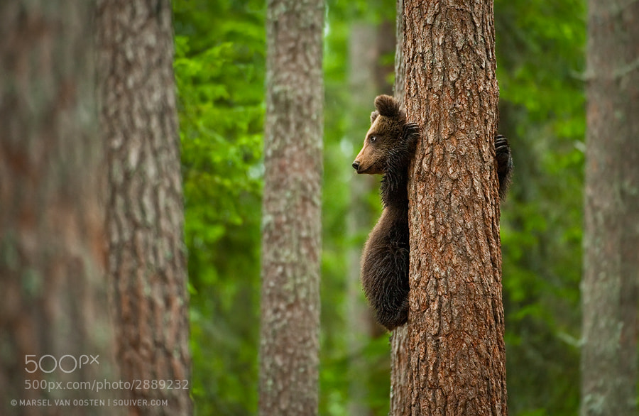 I photographed this wild brown bear cub from a hide in the taiga forests in east Finland, close to the Russian border. This image was shot on one of the first photo tours I ran there.