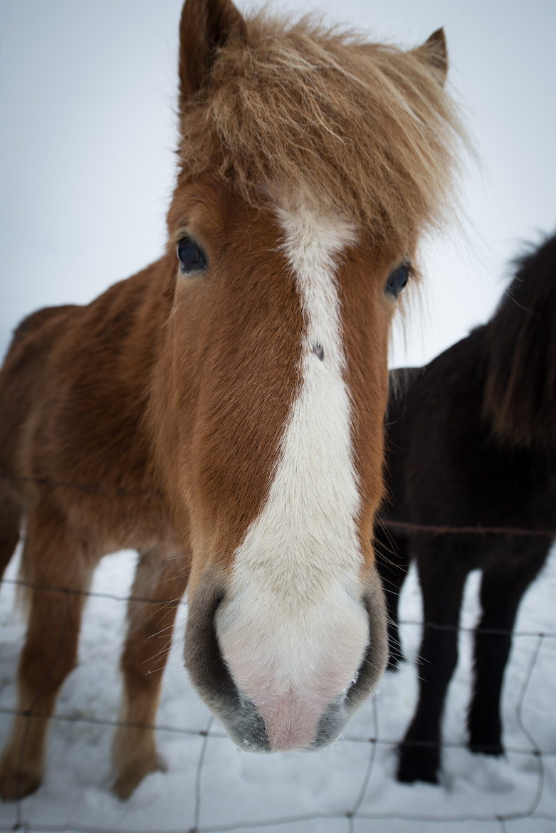 Photograph Icelandic Pony by Trevin Chow on 500px