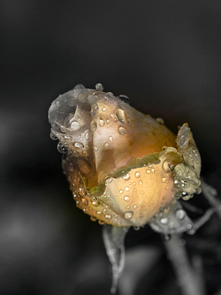 Photograph Crying Flower... by Ionescu Dragos on 500px