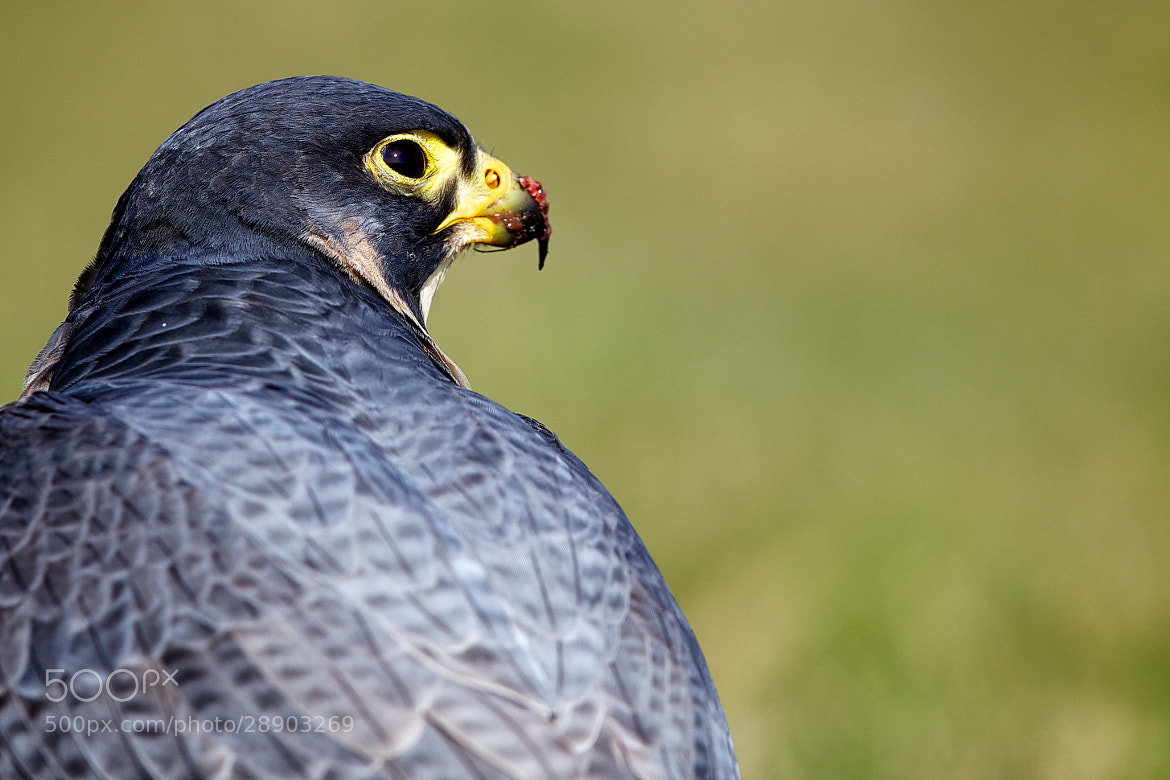 Photograph peregrine falcon by Mark Bridger on 500px