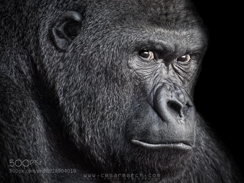 Photograph Gorilla portrait by Cesar March on 500px