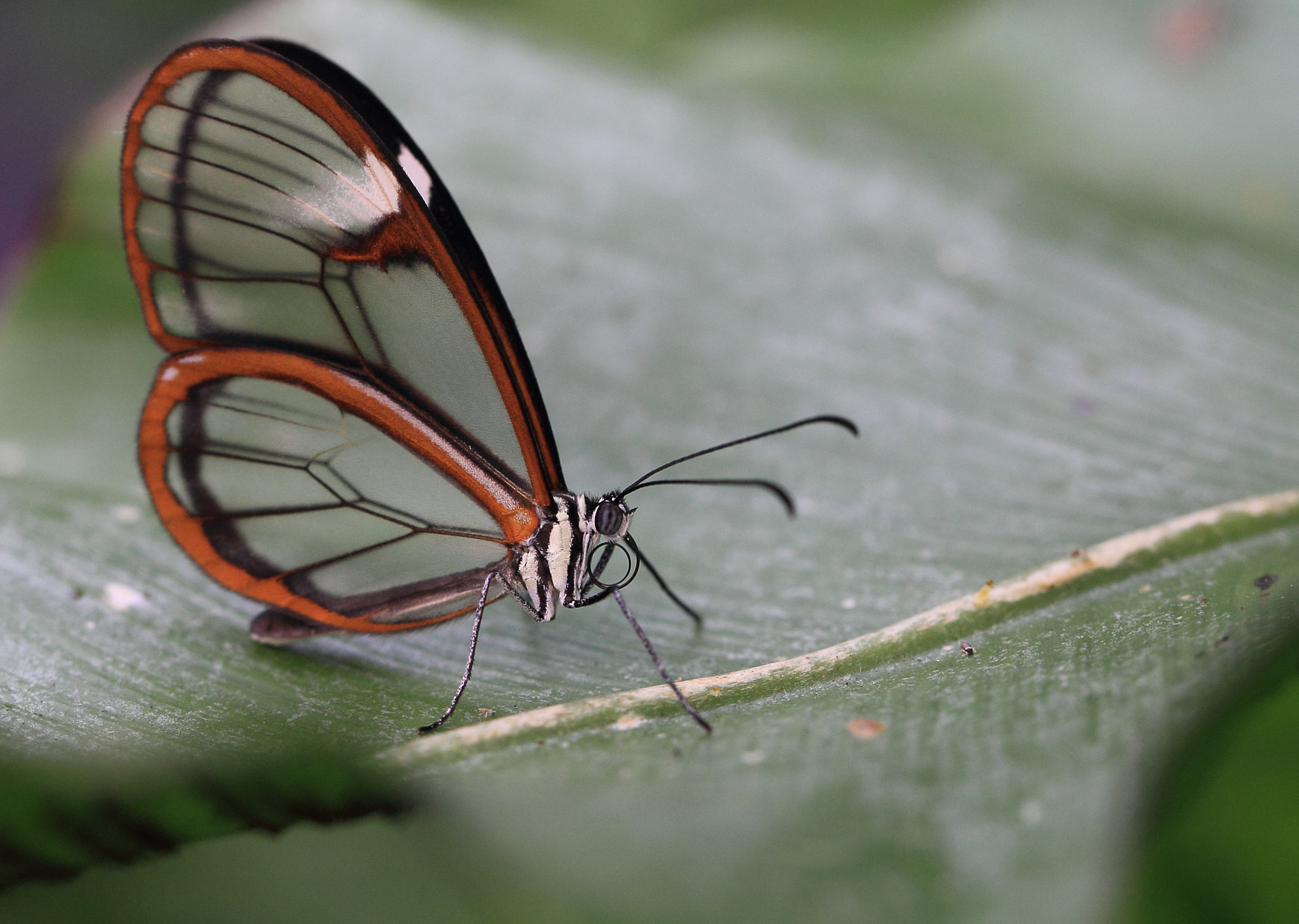 Photograph Glasswing Butterfly by Eva Lechner on 500px