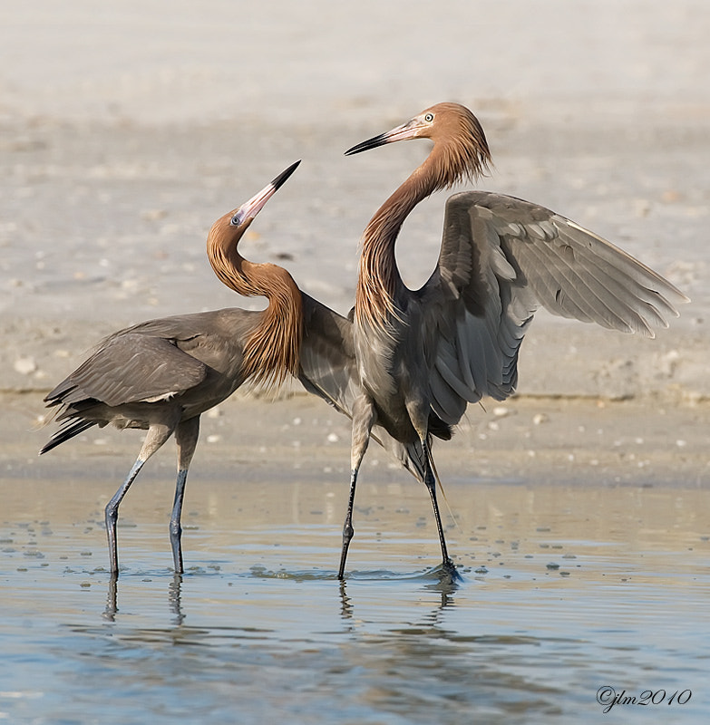 This is a sequel to the previous post of the reddish egret courting.  They are so beautiful and so graceul and incredible to watch.  I felt it a true privelge to have witnessed this moment.