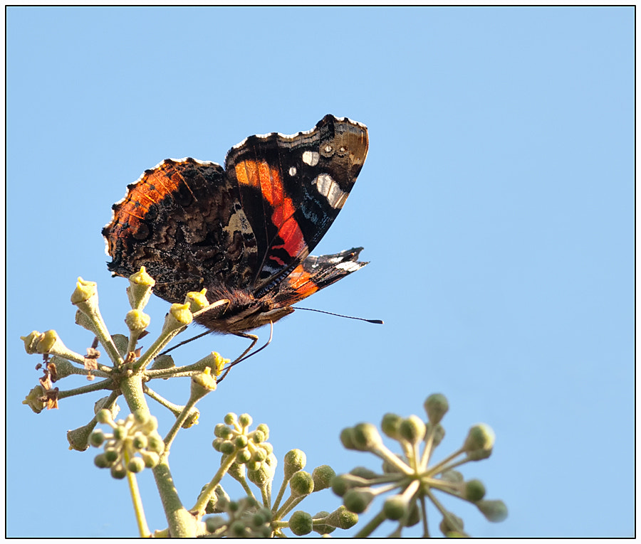 Photograph  Red Admiral .... by Lucy Filippini on 500px