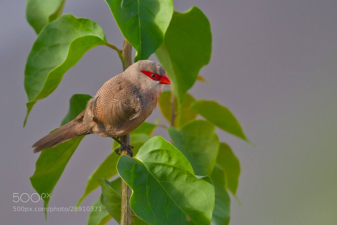 Photograph Common Waxbill (Estrilda astrild) by Bertrando Campos on 500px