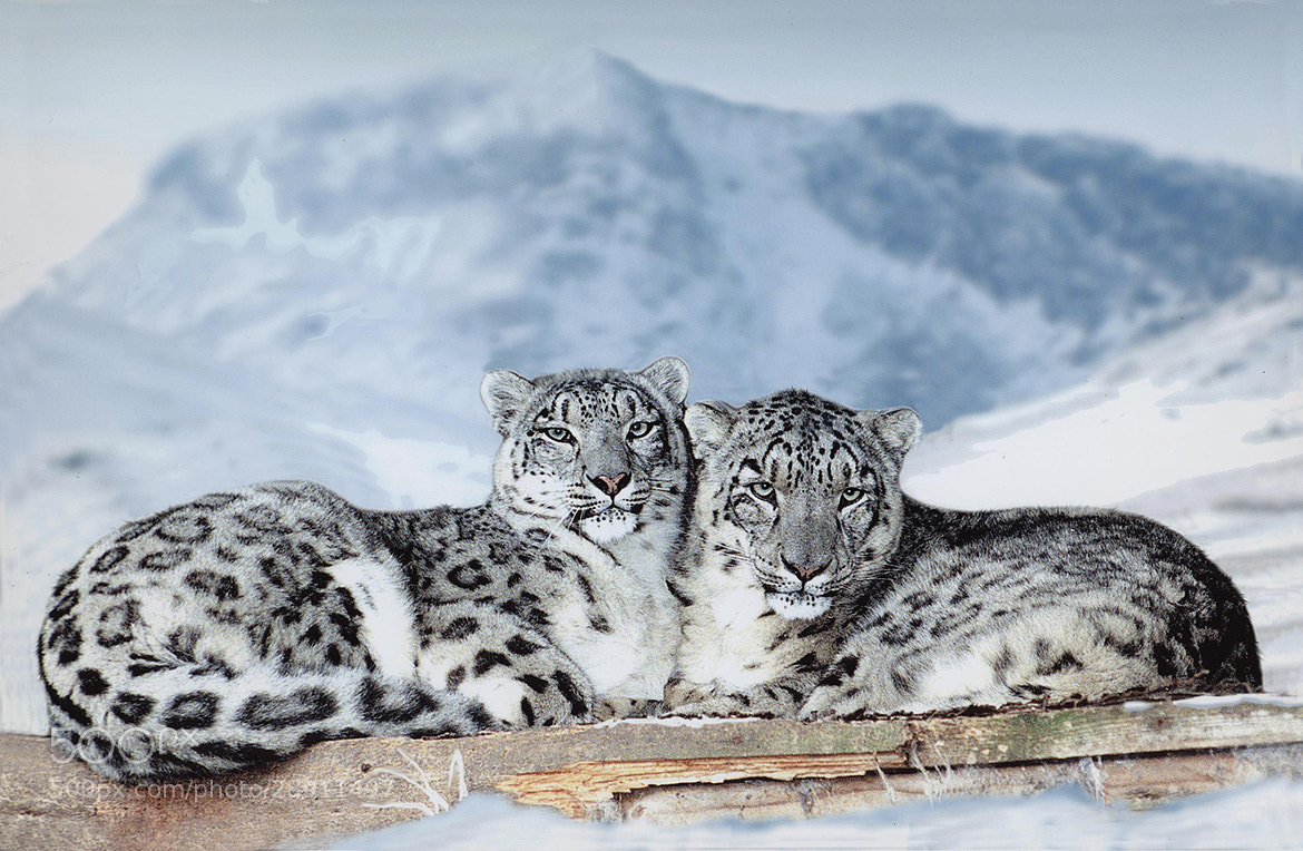 Photograph Snow Leopard by Ronald Coulter on 500px