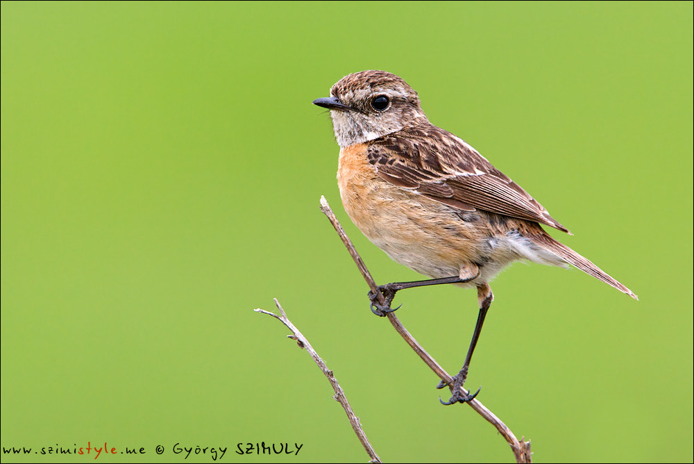 Photograph European Stonechat (Saxicola rubicola rubicola) by Gyorgy Szimuly on 500px