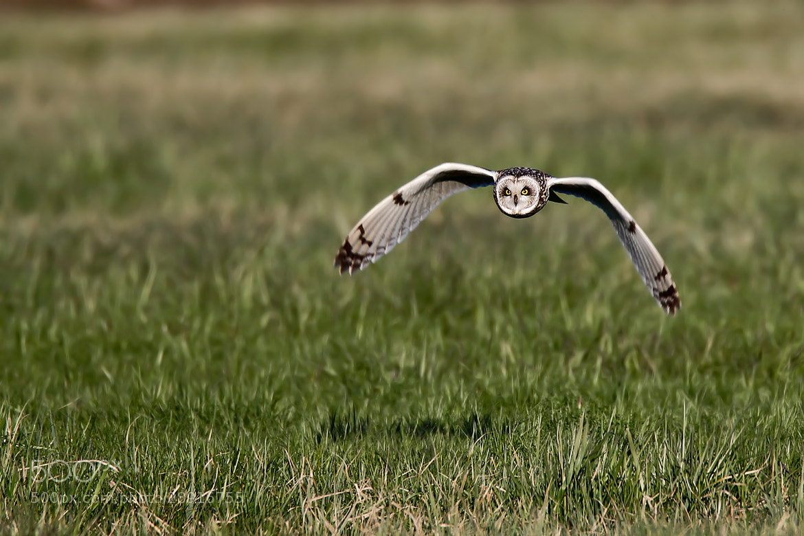 Photograph Short-eared Owl  by Paolo Guidetti on 500px