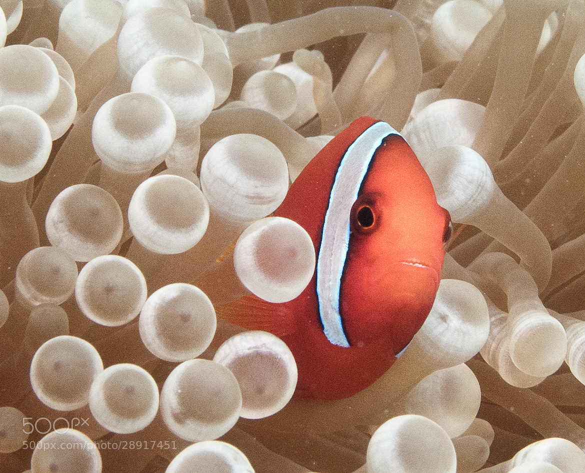 Photograph Clownfish by Bettina  on 500px