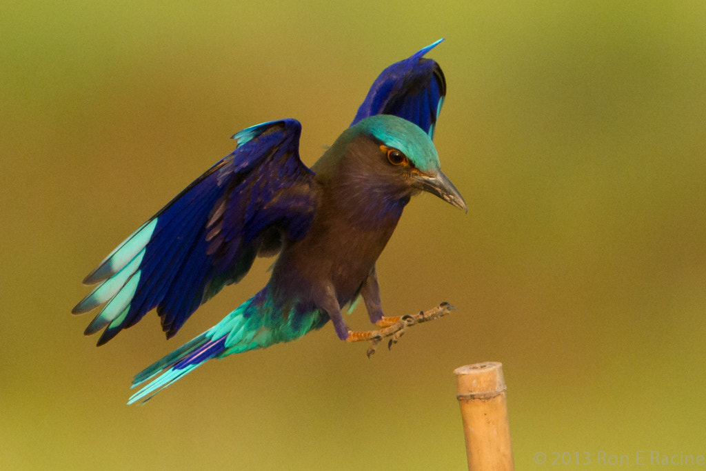 Photograph Indian Roller Landing II by Ron E Racine on 500px