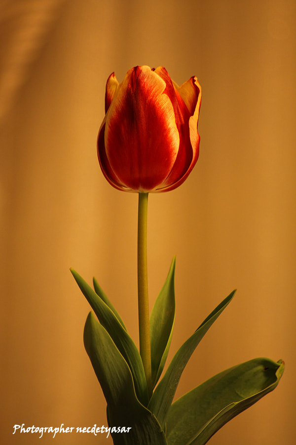 Photograph Tulip. by Necdet Yasar on 500px