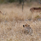 Постер, плакат: Stalking Cheetah