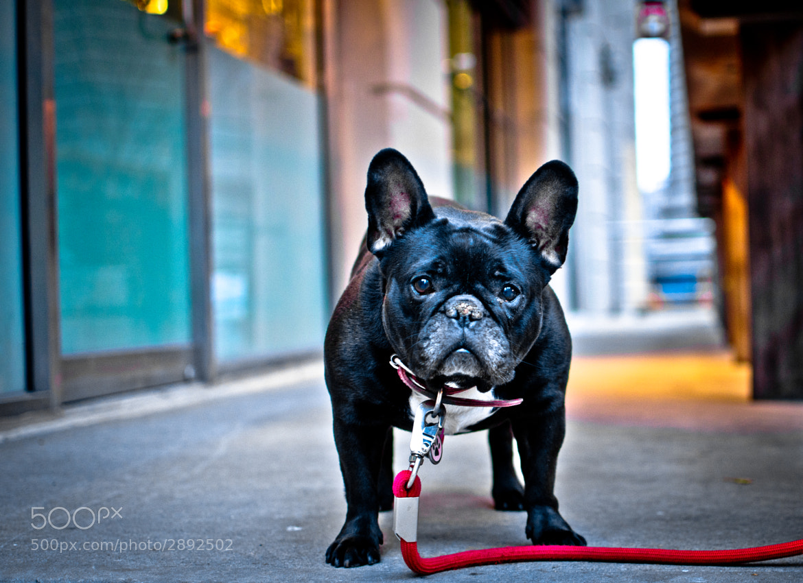 Photograph Frenchie  by Steven  Lindgren on 500px