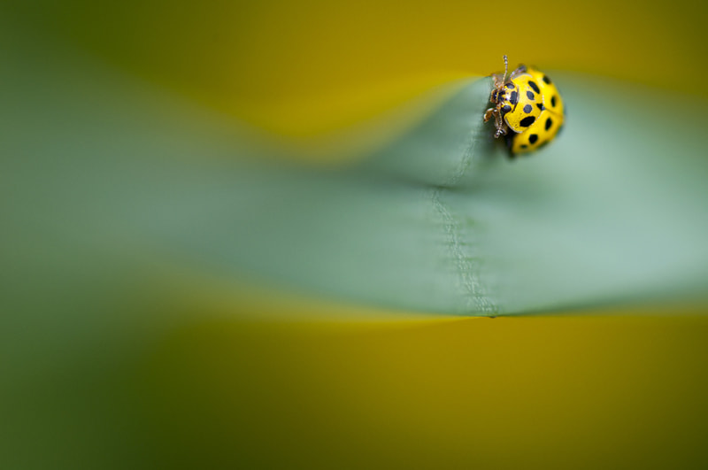 Photograph Yellow ladybug by Andreas Fransson on 500px