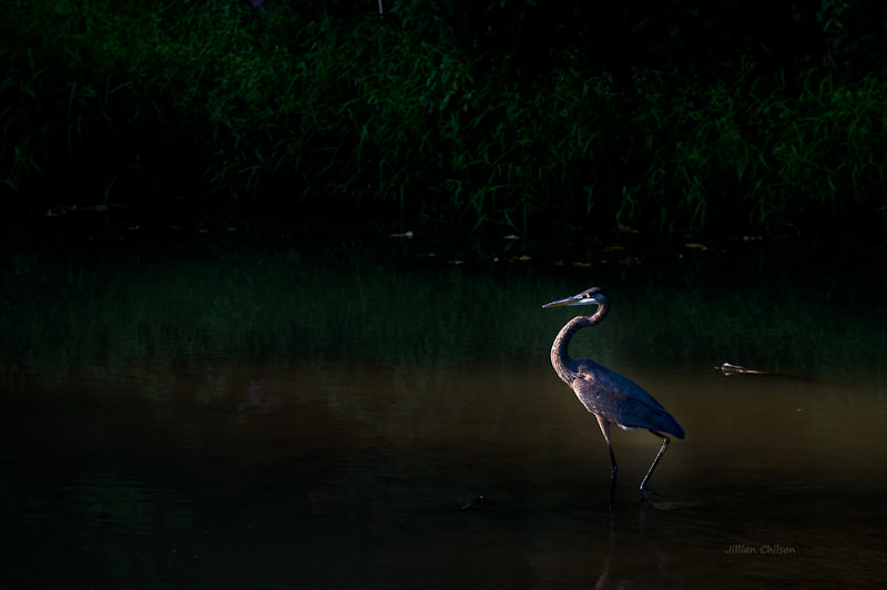 Photograph Blue Heron at Dusk by Jillian Chilson on 500px