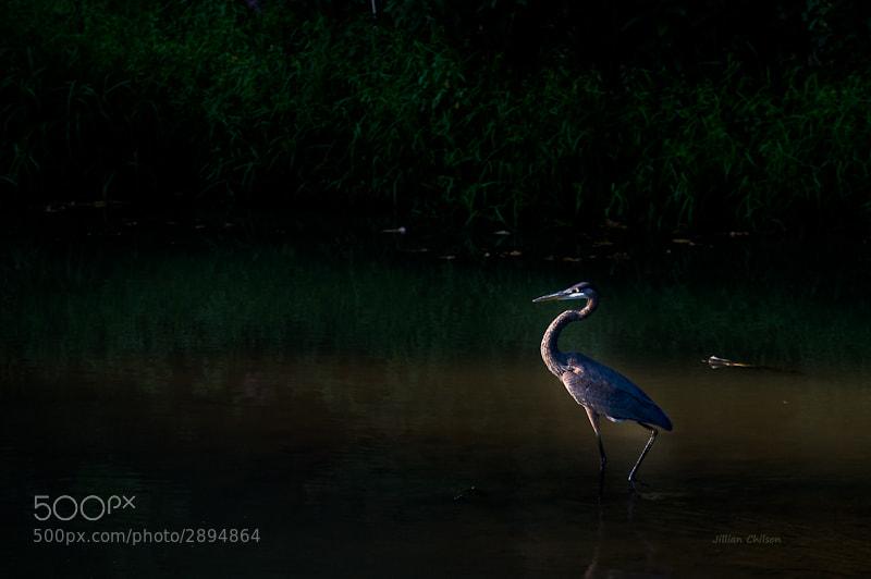 Photograph Blue Heron at Dusk by Jillian Chilson on 500px