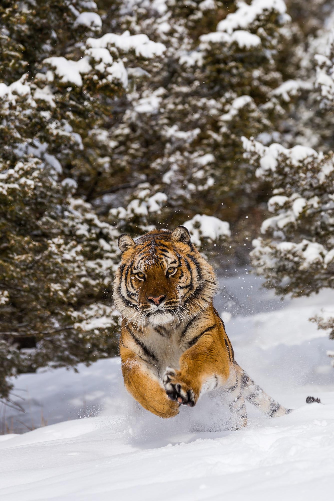 Tiger jumping in snow (panthera tigris) by Christophe ...