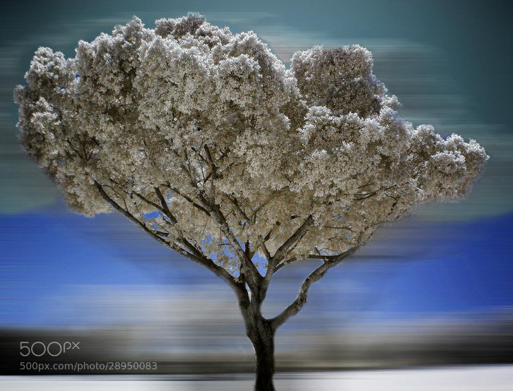 Photograph The white tree by ARIK KFIR on 500px