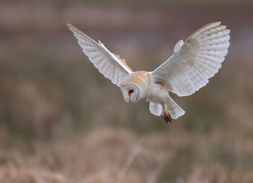 Photograph Barn Owl by Karen Summers on 500px