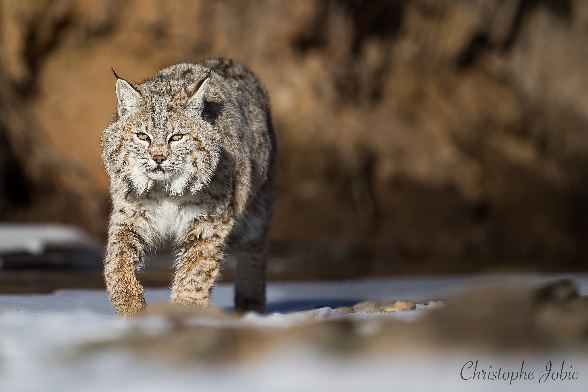 Photograph Bobcat looking for food on a frozen riverbed by Christophe JOBIC on 500px